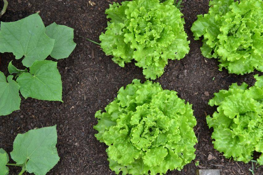 La lotta biologica: ecco alcuni consigli utili per il proprio orto